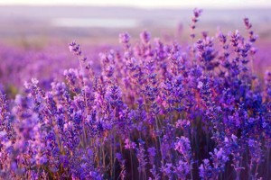 List of 3 great Lavender field in Da Lat