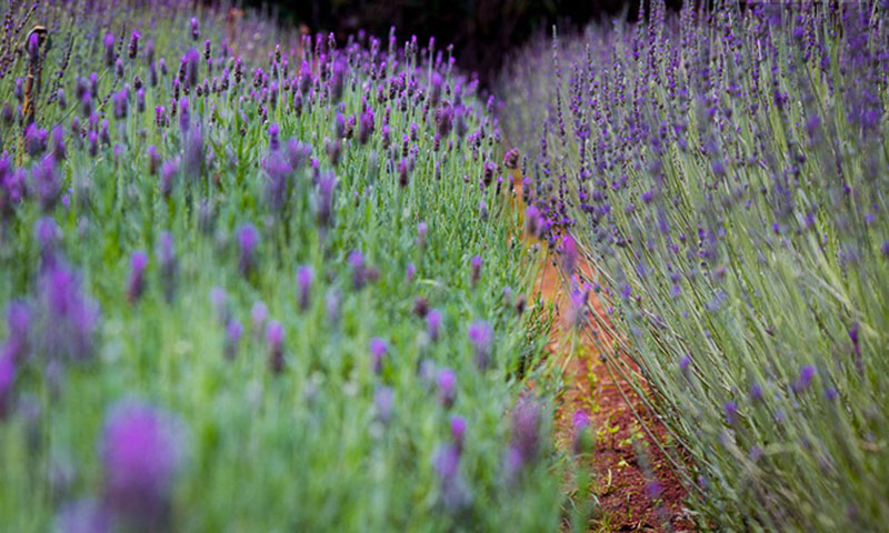 canh-dong-lavender-da-lat
